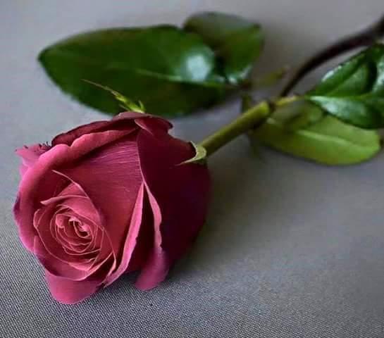 صور صورة وردة جميلة , متع عينيك باجمل صور للورود