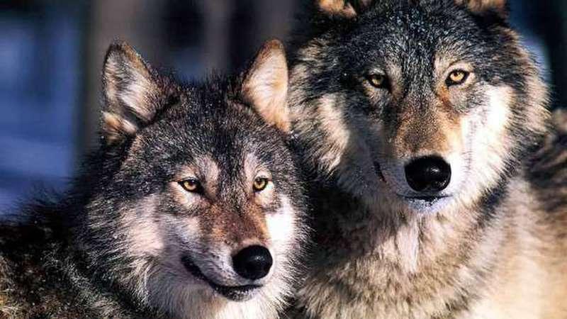 صورة تفسير الاحلام ذئب , اسرار تفسير الذئب