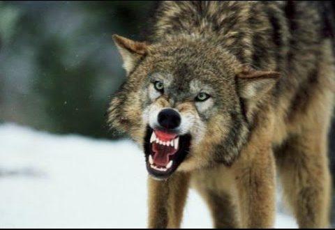 صور تفسير الاحلام ذئب , اسرار تفسير الذئب