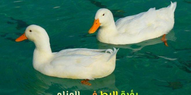 صورة رؤية بط في المنام , البط وتفسير رؤيته فى المنام