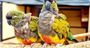 اعراض انفلونزا الطيور على العصافير , العصافير وكيف تمرض بانفلونزا الطيور