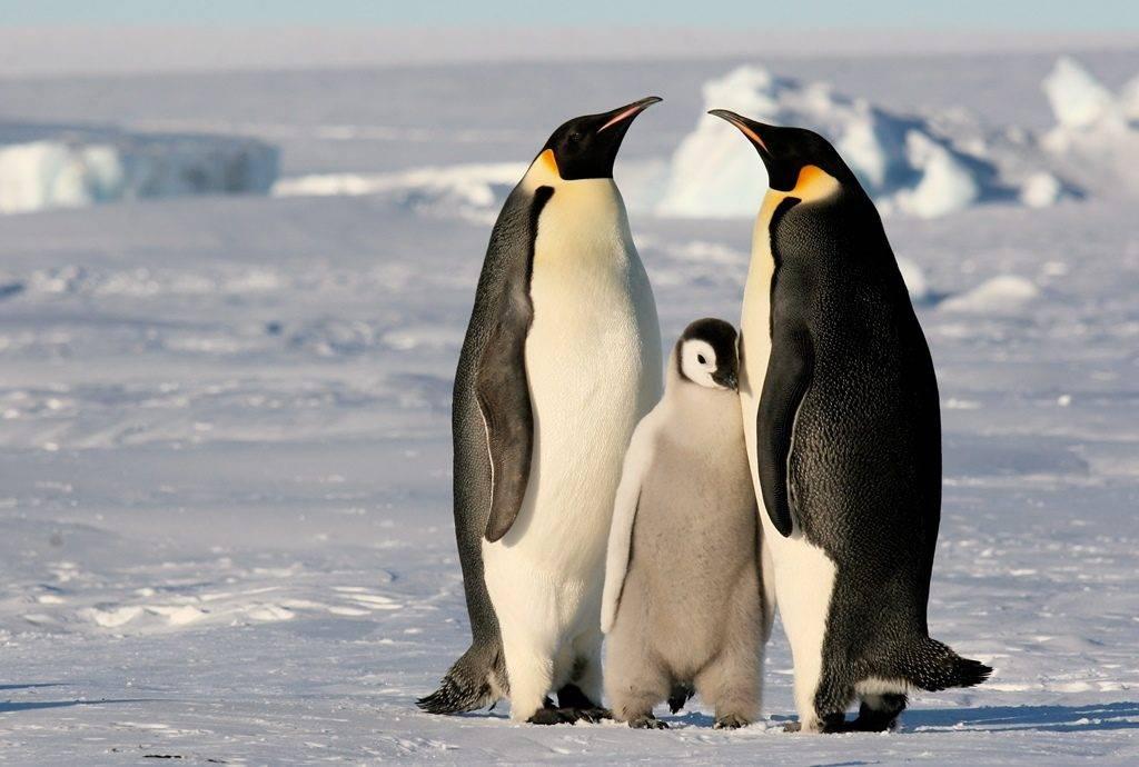 صورة اين يعيش البطريق , نبذه عن حياه البطريق