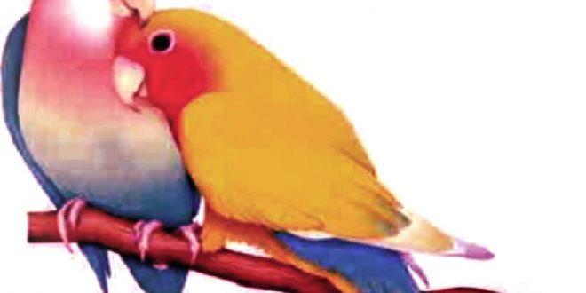 صور الصور طيور الحب , احلي صور لطيور الحب