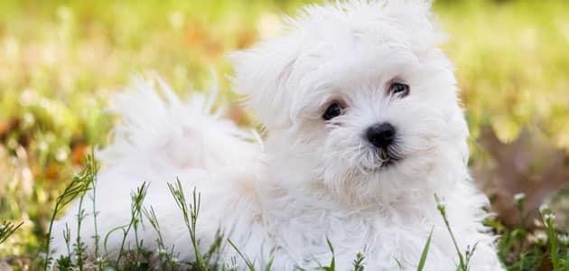 صورة رؤية الكلب الابيض في المنام , دلائل واسرار رؤية الكلاب البيضاء في المنام