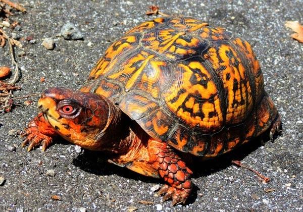 صورة انواع السلاحف بالصور , اجمل انواع السلاحف المدهشه