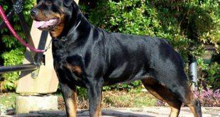 صورة اقوى 10 كلاب , كلاب قوية للحراسة