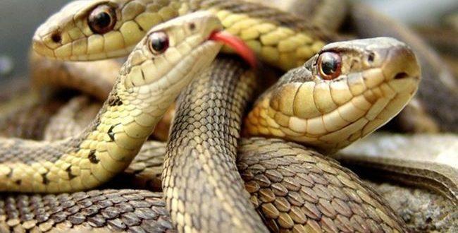 صورة ما هو صوت الثعبان , هل للثعابين صوت