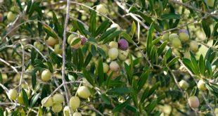 صورة تعبير عن شجرة الزيتون , ما اروعها من شجرة ذكرت في القران