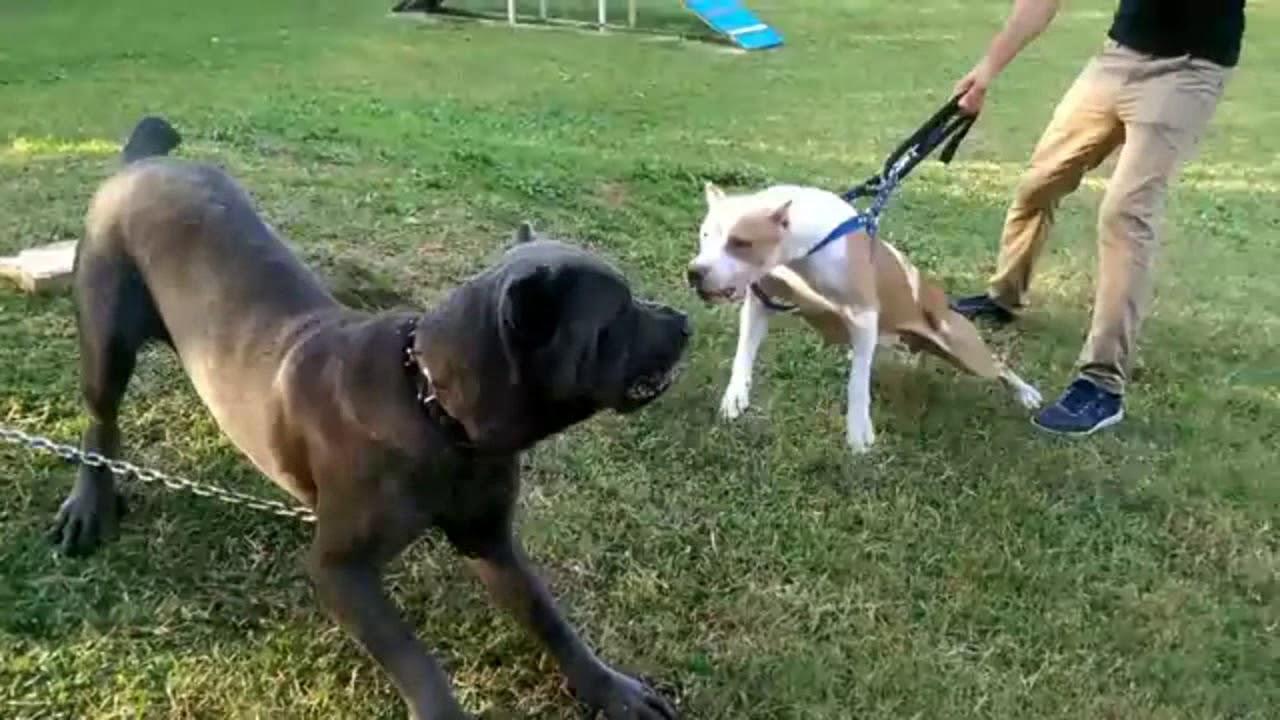 صورة كلاب رود فيلر ضد بيتبول , اشرس انواع الكلاب التي رايتها