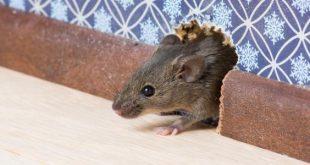 صورة كيف اتخلص من الفئران , تعرفي علي اسهل الطرق لتصطادين الفئران