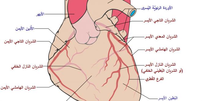 صورة الشريان الذي ينقل الدم من الجسم الى القلب , الشرايين التاجية