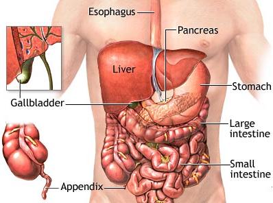 مكان المعدة في الجسم اين تقع المعده في جسم الانسان دلوعه كشخه