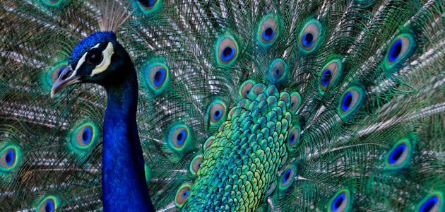 صورة تفسير حلم الطاووس للامام الصادق , ما تاؤيل الطاووس في المنام