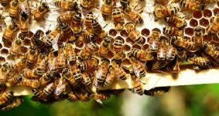 تفسير لسعة النحل في المنام , تاؤيل لسعة النحل في المنام