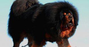 صورة صور اقوي كلاب في العالم , كلاب مختلفه للحراسة