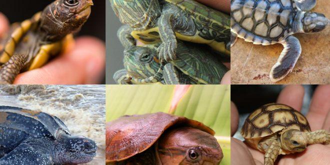صورة انواع السلاحف البرمائية بالصور , 8 انواع لا تعلم عنهم شيء للسلاحف