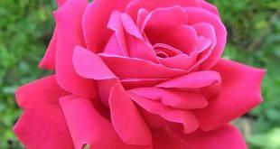 صورة انواع الزهور ومعانيها , باقة من الورود المميزة بعطرها وحكاويها