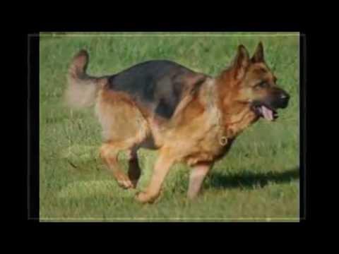 صورة هل الكلاب تمنع دخول الملائكة , صحة نجاسة الكلاب من خطأه
