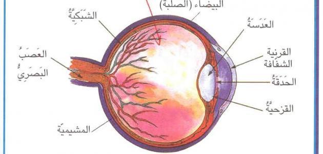 صورة من اجزاء العين , التركيب التشريحى للعين