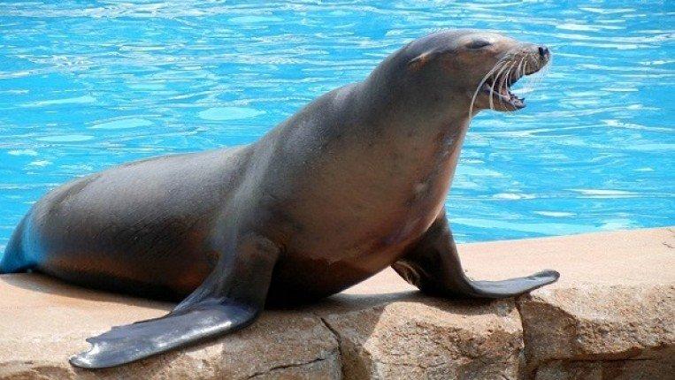 صورة صور كلاب البحر , ماتعرفه عن كائن السيرك المضحك