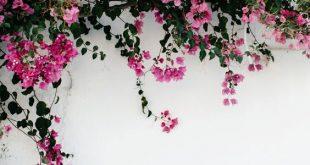 صورة صور خلفيات ورود , اجدد خلفيات الورود 2020