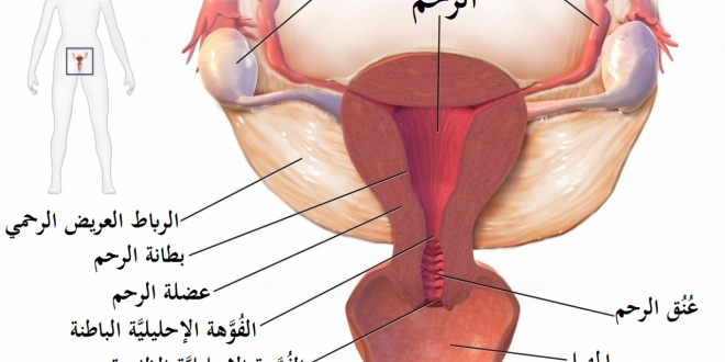 صورة ما هو الجهاز التناسلي , ما هو الرحم بتفاصيله