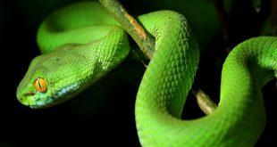 صورة الثعابين في المنام لابن سيرين 954 1.png 310x165